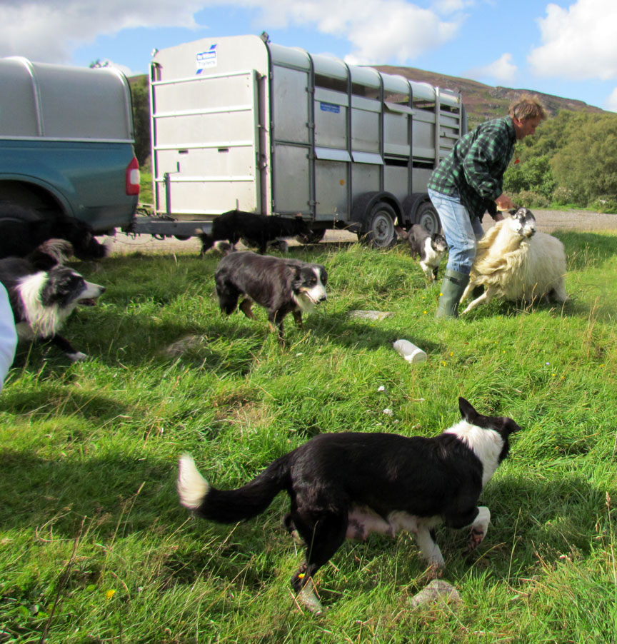 Breed Of Herding Dog Descended From Scottish Collies