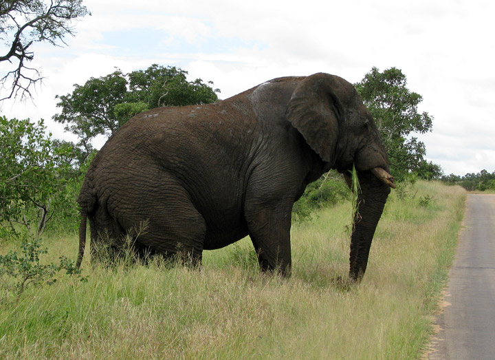 Biggest elephant in the world