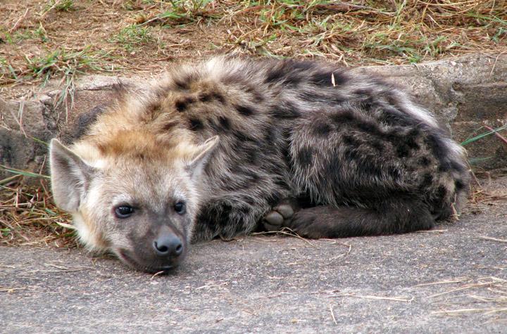 Hyena in Kruger National Park, South Africa - Travel ...