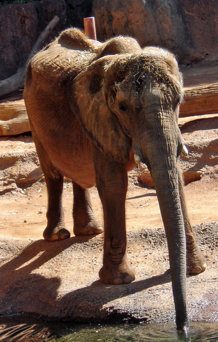 African Elephants at the Atlanta Zoo - Travel Photos by ...