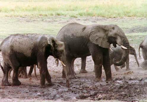 elephant1.jpg (66296 bytes)