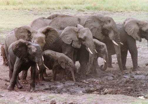 elephant3.jpg (63668 bytes)