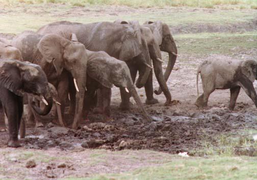 elephant4.jpg (66004 bytes)