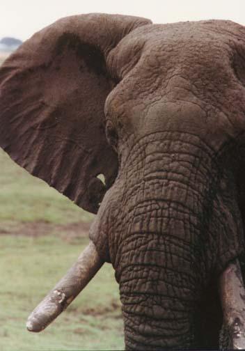 elephant6.jpg (57343 bytes)