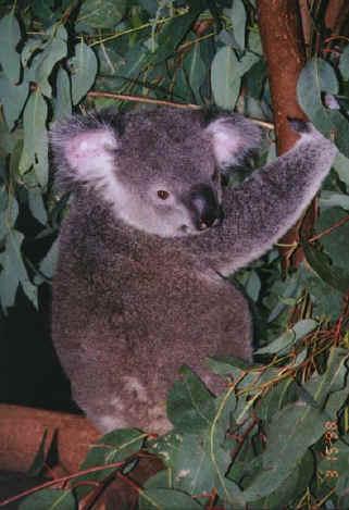 koala02.jpg (75639 bytes)