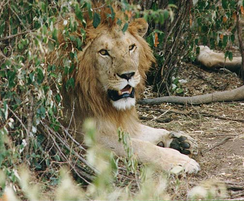 lion1.jpg (97939 bytes)