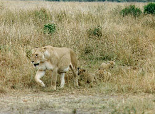 lion2.jpg (74676 bytes)