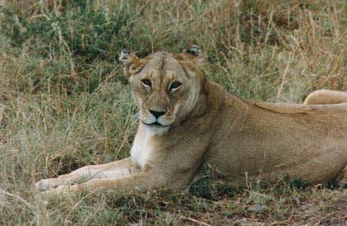 lion4.jpg (67672 bytes)