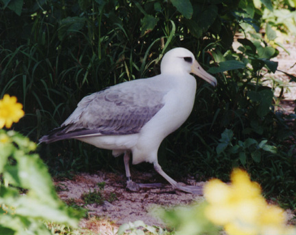 midway_bird07.jpg (104779 bytes)