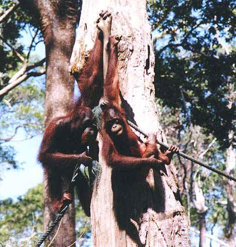 orangutan1.jpg (109145 bytes)