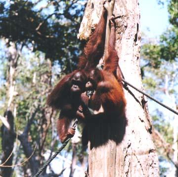 orangutan2.jpg (78519 bytes)