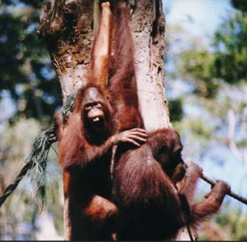 orangutan3.jpg (71053 bytes)