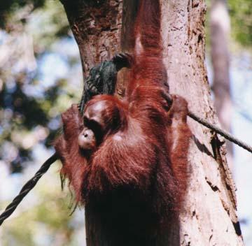 orangutan4.jpg (71245 bytes)