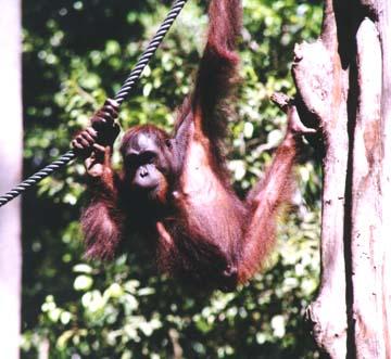 orangutan5.jpg (72984 bytes)