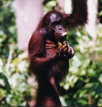 orangutan6.jpg (66008 bytes)