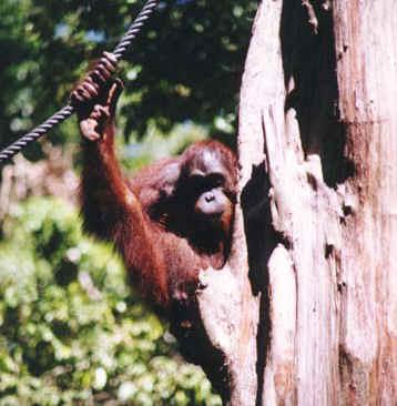 orangutan7.jpg (73958 bytes)