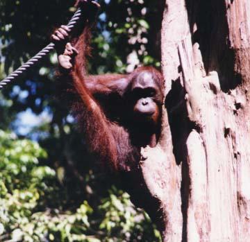 orangutan8.jpg (73176 bytes)