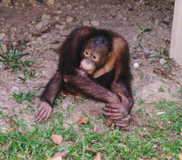 orangutan9.jpg (70345 bytes)
