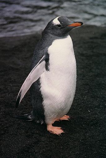 penguin08.jpg (106101 bytes)