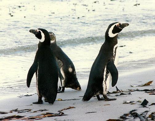 penguin12.jpg (129789 bytes)