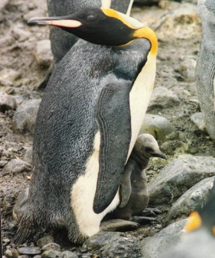 penguin17.jpg (141533 bytes)
