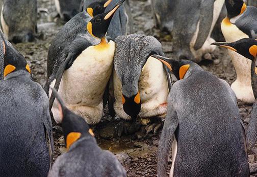 penguin18.jpg (135230 bytes)