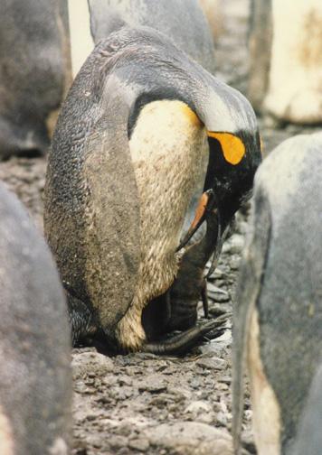 penguin19.jpg (115239 bytes)