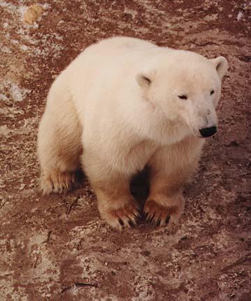 polarbears4.jpg (73730 bytes)