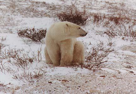 polarbears9.jpg (69001 bytes)