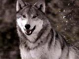 wolf1.jpg (42171 bytes)