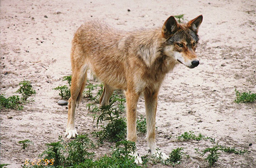 wolf10.jpg (145997 bytes)
