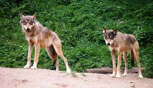 wolf11.jpg (129923 bytes)