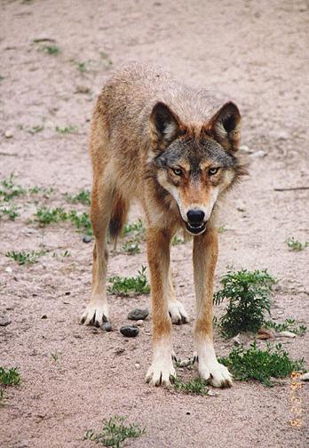 wolf12.jpg (141946 bytes)