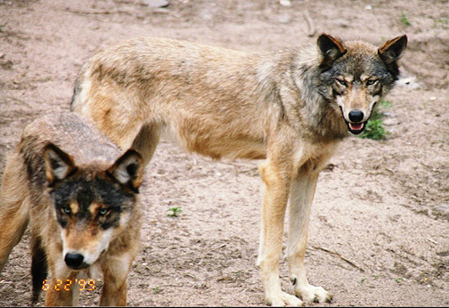 wolf13.jpg (139351 bytes)