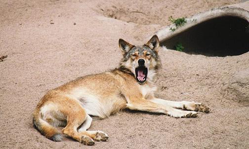 wolf14.jpg (112355 bytes)