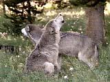 wolf2.jpg (44623 bytes)