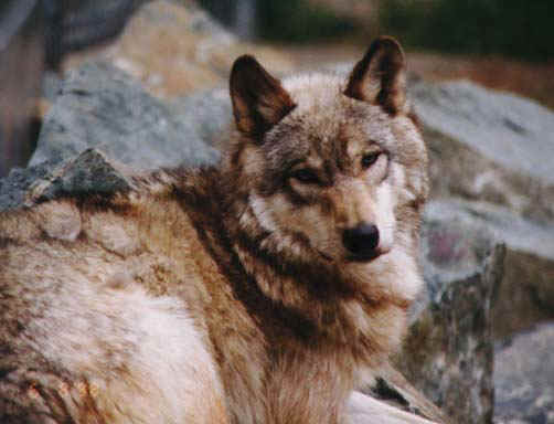 wolf7.jpg (65047 bytes)