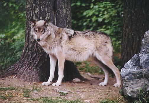 wolf9.jpg (75119 bytes)