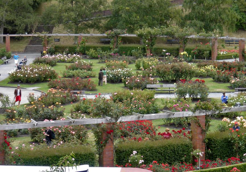 Rose in the Wellington Botanic Garden, Wellington, New Zealand ...