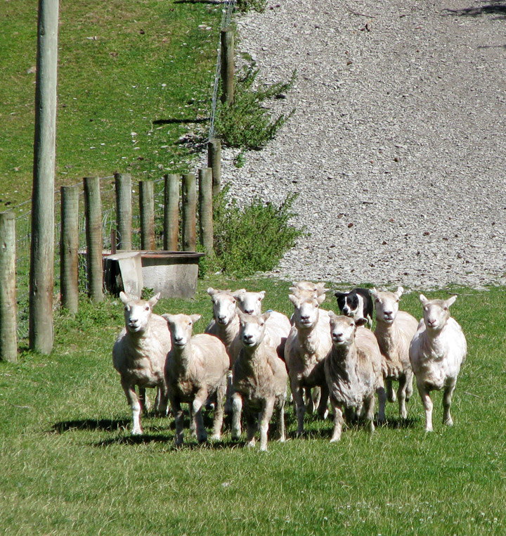 Video of the sheep dog in action